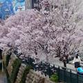 すでに満開&葉桜だった納屋橋近くの堀川沿いの桜(四季桜、2018年3月18日) - 14