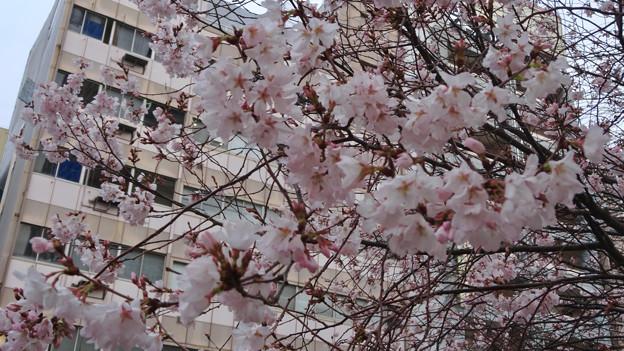 すでに満開&葉桜だった納屋橋近くの堀川沿いの桜(四季桜、2018年3月18日) - 17