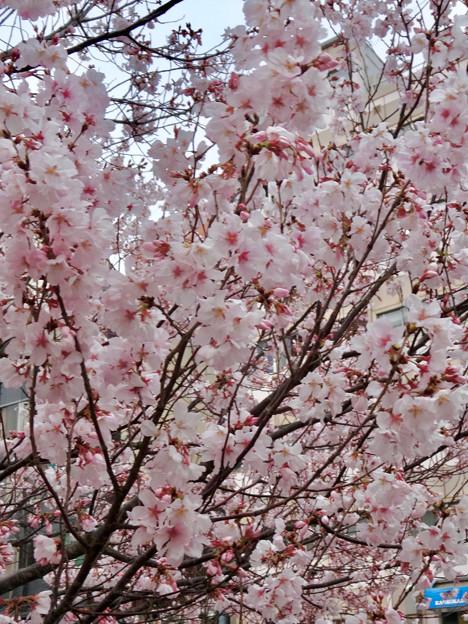 すでに満開&葉桜だった納屋橋近くの堀川沿いの桜(四季桜、2018年3月18日) - 20