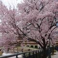 すでに満開&葉桜だった納屋橋近くの堀川沿いの桜(四季桜、2018年3月18日) - 24