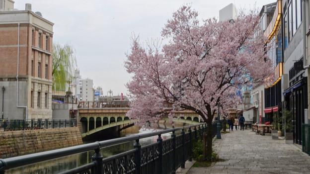 すでに満開&葉桜だった納屋橋近くの堀川沿いの桜(四季桜、2018年3月18日) - 25