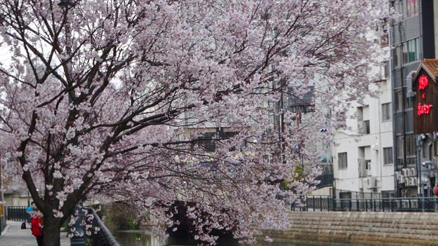 すでに満開&葉桜だった納屋橋近くの堀川沿いの桜(四季桜、2018年3月18日) - 29