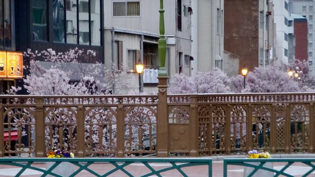 すでに満開&葉桜だった納屋橋近くの堀川沿いの桜(四季桜、2018年3月18日) - 32