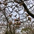 名古屋では開花宣言されたけど、ようやくピンク色が見え始めたくらいだった落合公園のソメイヨシノ(2018年3月20日) - 2