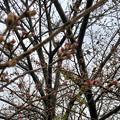 ようやくツボミが色づき始めた中央道桃花台バス停付近の桜(2018年3月21日) - 2