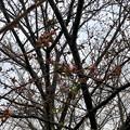 ようやくツボミが色づき始めた中央道桃花台バス停付近の桜(2018年3月21日) - 3