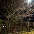 だいぶ膨らみ始めた中央道沿いの桜のツボミ(2018年3月22日) - 1