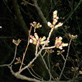 だいぶ膨らみ始めた落合公園の桜のツボミ(2018年3月22日) - 1