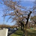 今年も咲き始めた落合公園の桜(ソメイヨシノ、2018年3月23日) - 1