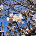 今年も咲き始めた落合公園の桜(ソメイヨシノ、2018年3月23日) - 3