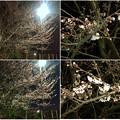 写真: 1日で結構開花が進んだ中央道沿いの桜(2018年3月25日) - 7