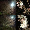 写真: 1日で結構開花が進んだ中央道沿いの桜(2018年3月25日) - 10