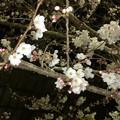 1日でまたかなり開花が進んだ中央道桃花台の桜(2018年3月26日)- 4