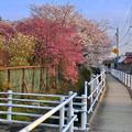 写真: 満開だった天満天神社の桜 - 2
