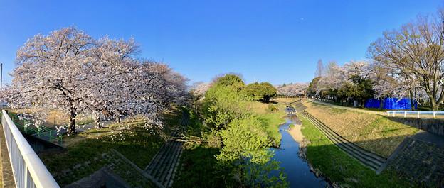 満開だった八田川沿いの桜(2018年3月28日、パノラマ)