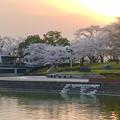 満開だった夕暮れ時の落合公園の桜(2018年3月29日) - 5