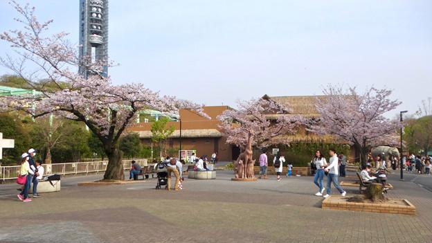 東山動植物園の桜(2018年4月1日)No - 2:ゾージアム手前の桜