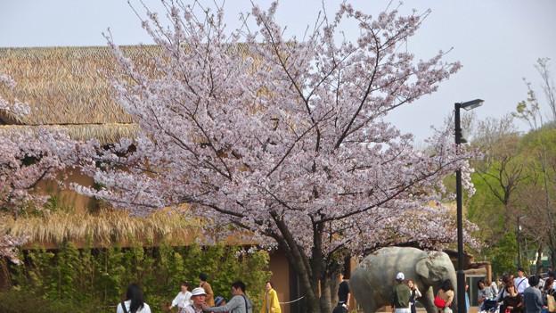 東山動植物園の桜(2018年4月1日)No - 3:ゾージアム手前の桜