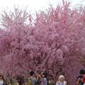 Photos: 東山動植物園の桜(2018年4月1日)No - 23:桜の回廊