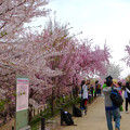 Photos: 東山動植物園の桜(2018年4月1日)No - 24:桜の回廊