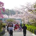 Photos: 東山動植物園の桜(2018年4月1日)No - 25