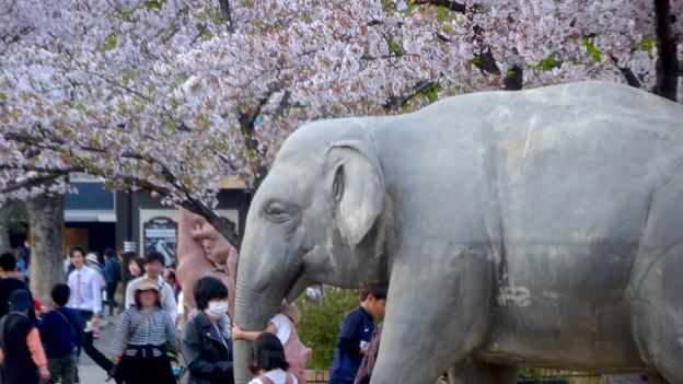 東山動植物園の桜(2018年4月1日)No - 29:ゾージアム横の桜