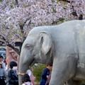 写真: 東山動植物園の桜(2018年4月1日)No - 29:ゾージアム横の桜