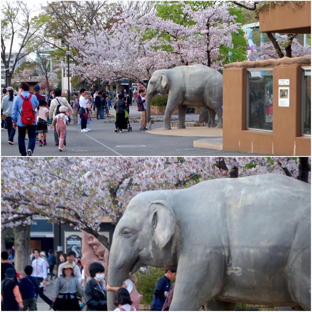 東山動植物園の桜(2018年4月1日)No - 30:ゾージアム横の桜