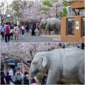 写真: 東山動植物園の桜(2018年4月1日)No - 30:ゾージアム横の桜