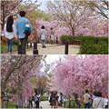 写真: 東山動植物園の桜(2018年4月1日)No - 31:桜の回廊
