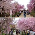 写真: 東山動植物園の桜(2018年4月1日)No - 32:桜の回廊