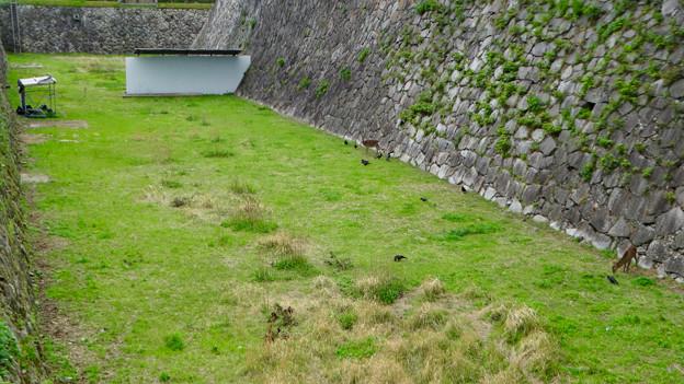元気そうだった名古屋城のお堀の鹿 - 1