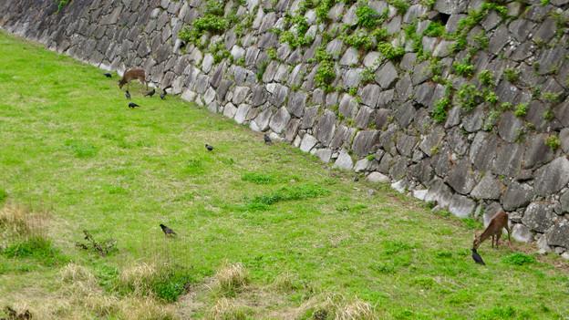 元気そうだった名古屋城のお堀の鹿 - 2