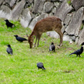 元気そうだった名古屋城のお堀の鹿 - 4