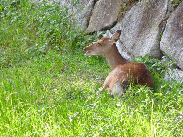 名古屋城:日陰で休んでいたお堀の鹿 - 1