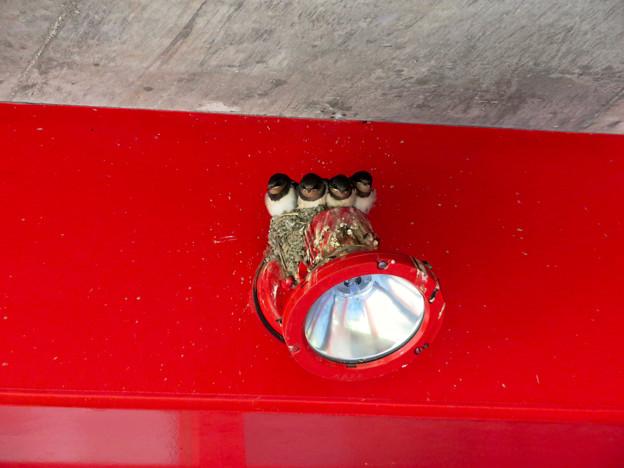 落合公園:大きく育ってギューギューだったツバメの巣 - 1