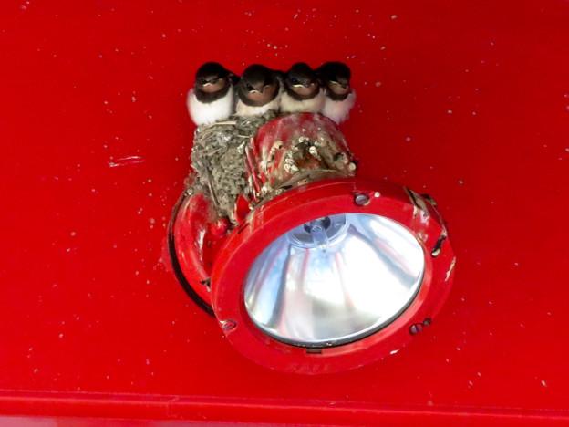 落合公園:大きく育ってギューギューだったツバメの巣 - 6