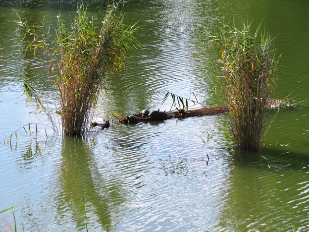 落合公園:溜まっていた葦の上(?)で日向ぼっこしてた亀 - 1