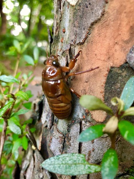 今夏(2018年)初めて出会った脱皮前のセミの幼虫 - 1
