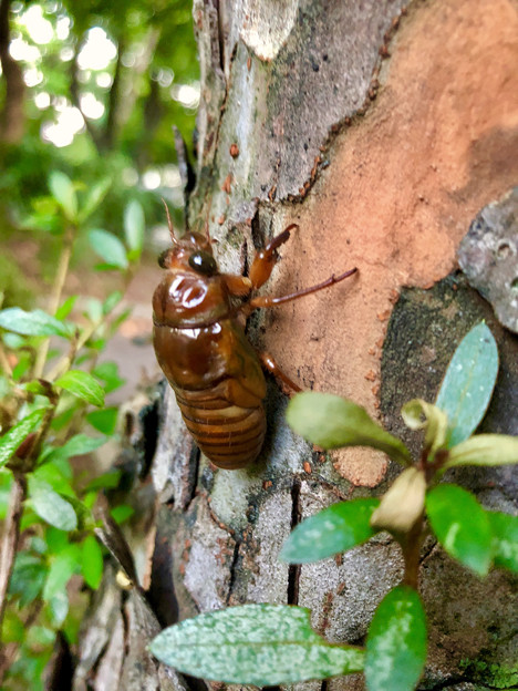 今夏(2018年)初めて出会った脱皮前のセミの幼虫 - 2