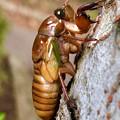 Photos: 今夏(2018年)初めて出会った脱皮前のセミの幼虫 - 4