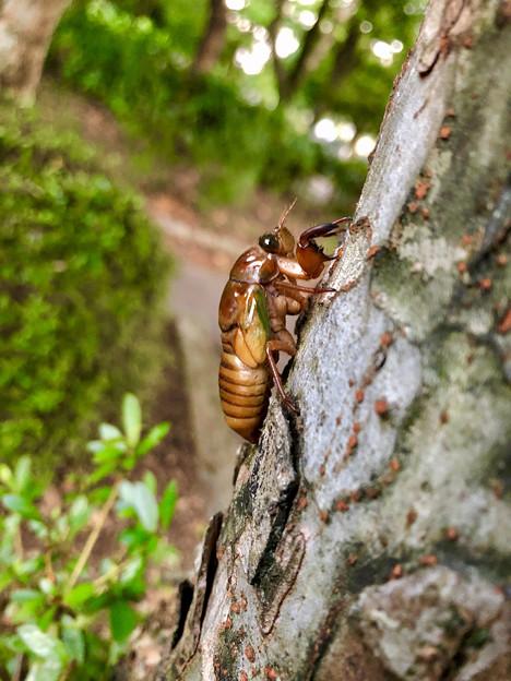 今夏(2018年)初めて出会った脱皮前のセミの幼虫 - 5