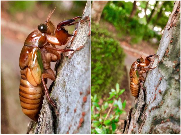 今夏(2018年)初めて出会った脱皮前のセミの幼虫 - 10