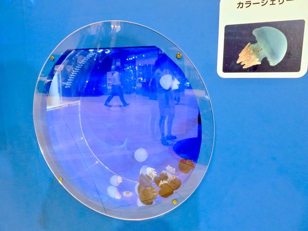 名古屋港水族館AQUA LIVE in ミッドランドスクエア 2018 - 19:カラージェリーフィッシュ