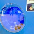Photos: 名古屋港水族館AQUA LIVE in ミッドランドスクエア 2018 - 19:カラージェリーフィッシュ