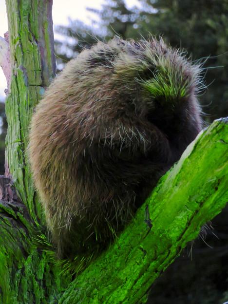 東山動植物園ナイトZoo 2018 No - 28:木の上で眠るカナダヤマアラシ