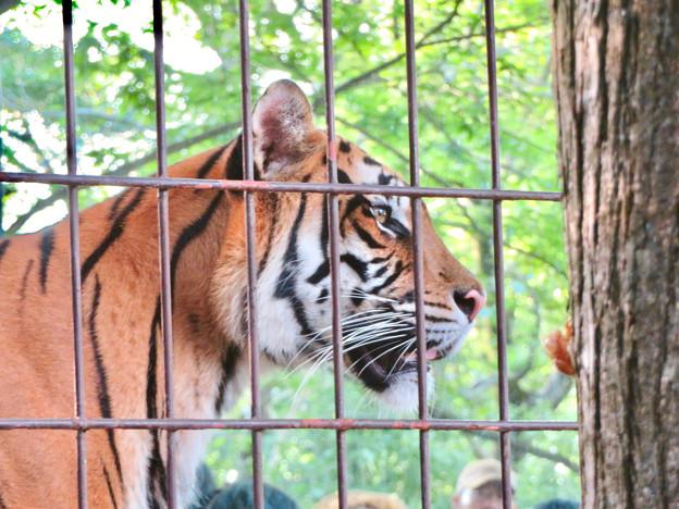 東山動植物園 2018年8月 No - 14:トラ