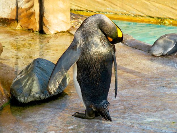 東山動植物園 2018年8月 No - 22:オウサマペンギン