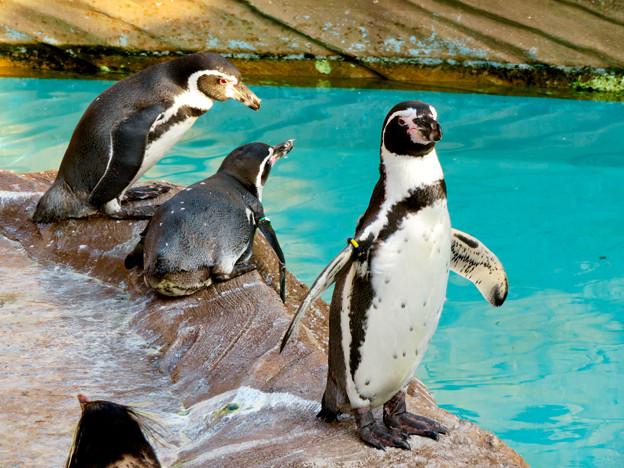 東山動植物園 2018年8月 No - 23:フンボルトペンギン