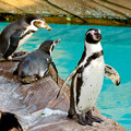 Photos: 東山動植物園 2018年8月 No - 23:フンボルトペンギン